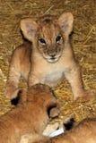 De leeuwwelpen zitten royalty-vrije stock afbeeldingen