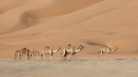 De lege Kamelen van het Kwart Stock Fotografie