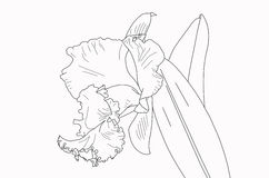 De lege lijnen van de cattleyaorchidee voor het schilderen Stock Afbeelding