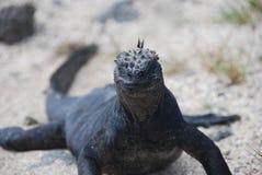 De Leguaan van de Galapagos Royalty-vrije Stock Foto
