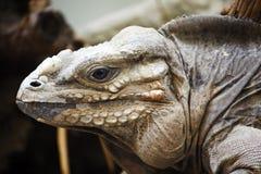 De Leguaan van de rinoceros Stock Fotografie