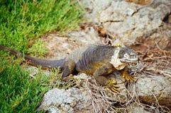 De Leguaan van het Land van de Galapagos Stock Foto's