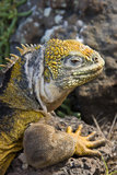 De Leguaan van het Land van de Galapagos (subcristatus Conolophus) stock foto