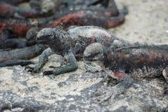 De Leguanen van de Galapagos Stock Fotografie