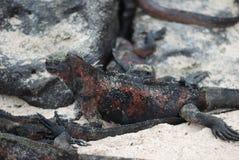 De Leguanen van de Galapagos Stock Afbeelding
