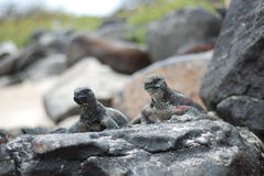 De Leguanen van Galapaogs Stock Foto