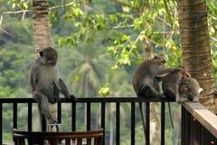 De leider van een troep van apen op een houten verschansing Macaque zit met een scherp glas in zijn handen Toont gevaar stock afbeelding
