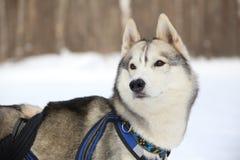 De leider van het hondteam luistert gastheer Royalty-vrije Stock Afbeeldingen