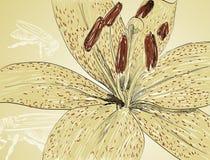 De lelie van bloemen Stock Afbeelding