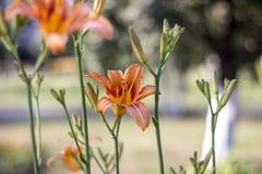 De lelie van bloemen Stock Foto