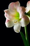 De lelie van de amaryllis Royalty-vrije Stock Afbeeldingen