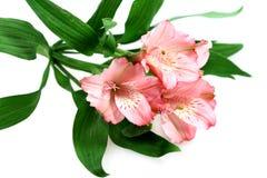 De Lelie van de bloem Royalty-vrije Stock Afbeeldingen