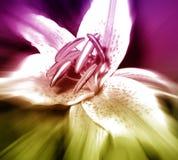 De Lelie van de bloem Stock Foto