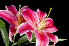 De Lelie van de bloem (soort Lilium   Royalty-vrije Stock Afbeelding