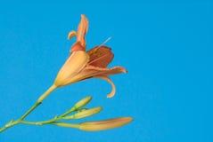 De lelie van de dag bloeit tegen een blauwe hemel Stock Foto