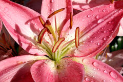 De Lelie van de Daling van de regen stock afbeelding