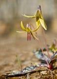 De Lelie van de forel - americanum Erythronium royalty-vrije stock afbeeldingen