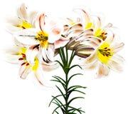 De lelie van de Minjiangrivier Royalty-vrije Stock Fotografie