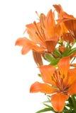 De lelie van de tijger Stock Foto