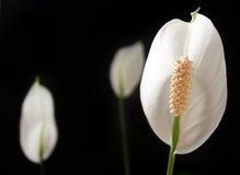 De Lelie van de vrede, Spathiphyllum op zwarte achtergrond Stock Afbeeldingen