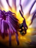 De lelie van de het stuifmeellotusbloem van de insectbij royalty-vrije stock afbeeldingen