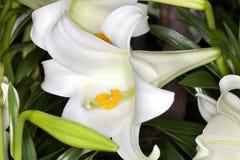 De Lelie van Pasen (longiflorum Lilium) Stock Afbeelding