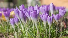 De lengte van de tijdtijdspanne van tot bloei komende saffraan stock video