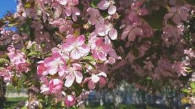 De lente achtergrondkunst met Roze Apple-Boombloesem Mooie aardscène met bloeiende boom en zongloed Blauwe hemelachtergrond stock video