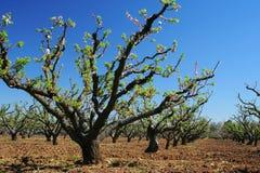 De lente in appelboomgaard Royalty-vrije Stock Foto's