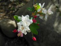De lente is Apple-Bloesemtijd Royalty-vrije Stock Foto