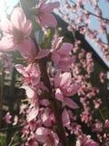 De lente april Kaliningrad Perzikboom stock afbeeldingen