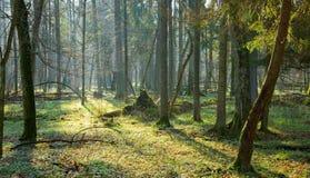 De lente bij oud natuurlijk bos Stock Foto's