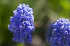 De lente blauwe bloemen Muskari Stock Fotografie