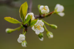 De lente bloeiende abrikozen Stock Afbeelding