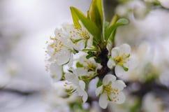 De lente bloeiende abrikozen Royalty-vrije Stock Foto