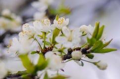 De lente bloeiende abrikozen Royalty-vrije Stock Afbeeldingen