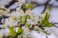 De lente bloeiende abrikozen Stock Fotografie