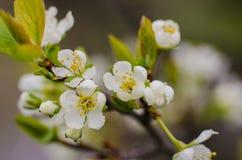 De lente bloeiende abrikozen Royalty-vrije Stock Foto's