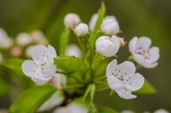 De lente bloeiende abrikozen Royalty-vrije Stock Fotografie