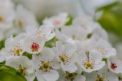 De lente bloeiende abrikozen Stock Foto's