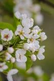 De lente bloeiende abrikozen Royalty-vrije Stock Afbeelding