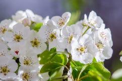 De lente bloeiende abrikozen Stock Foto