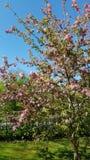 De lente bloeiende boom royalty-vrije stock afbeelding