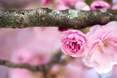 De lente: Bloeiende boom met roze bloesems, schoonheid stock foto