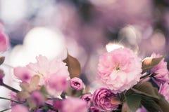 De lente: Bloeiende boom met roze bloesems, schoonheid stock afbeelding