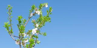 De lente bloeiende boom met witte roze bloemen en gebladerte tegen Royalty-vrije Stock Afbeeldingen