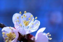 De lente bloeiende brunch Stock Foto