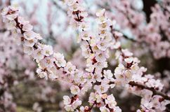 De lente Bloeiende fruitbomen in de lente stock foto's