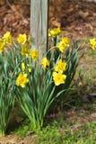 De lente Bloeiende Genaturaliseerde Gele Gele narcissen stock afbeelding