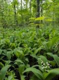 De lente, bloeiende lelietje-van-dalen in het bos stock foto